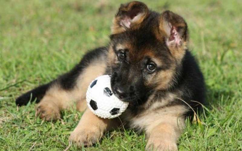 berger allemand chien mignon - topofthetop