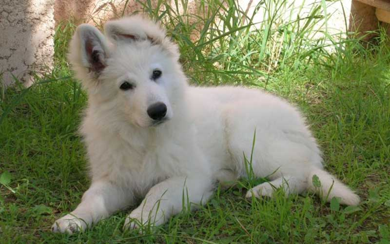 chien mignon berger blanc suisse - topofthetop