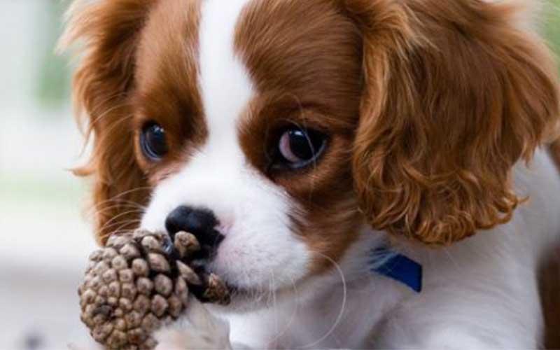 chien mignon cavalier king charles - topofthetop