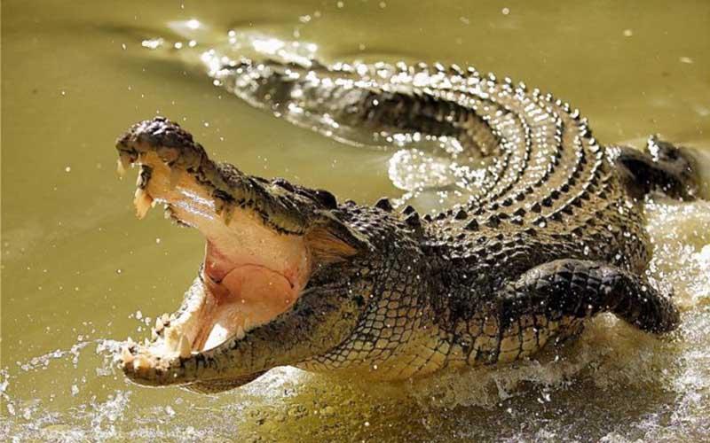 crocodile animaux dangereux - topofthetop