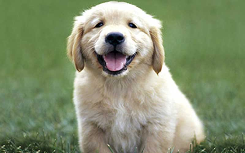 golden retriever chien mignon - topofthetop