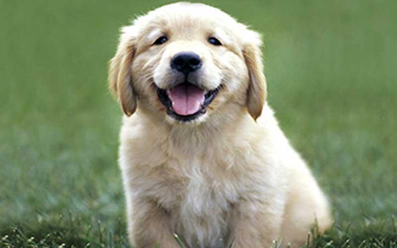 golden retriever chien mignon - topofthetop